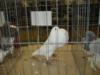 The Dublin Pigeon Show 2011