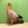 Best Colour Pigeon - Seamus Barrett